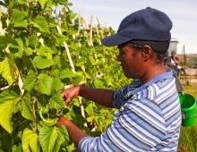 Man picking a grape tree